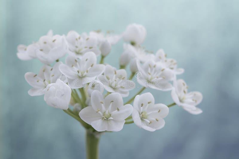 Primer de la flor blanca del allium foto de archivo