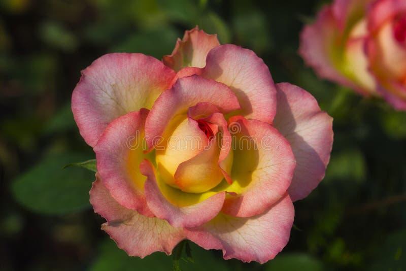 Primer de la flor color de rosa multicolora en el jardín del verano foto de archivo libre de regalías