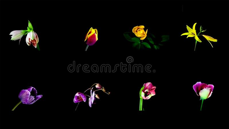 Primer de la flor colorida en fondo negro fotos de archivo libres de regalías