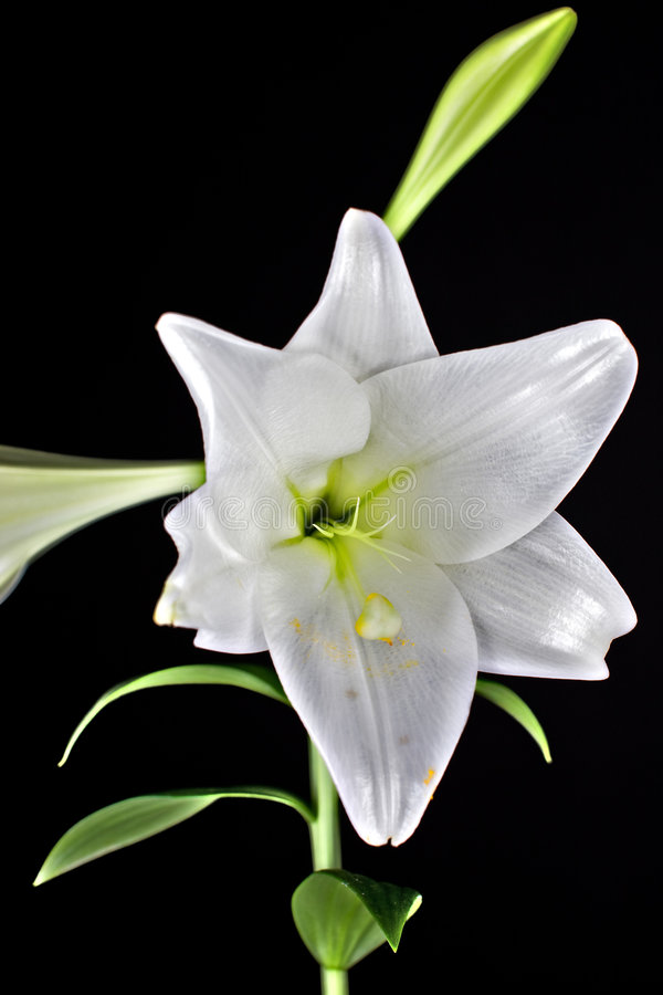 Primer de la flor de Lilly fotografía de archivo libre de regalías