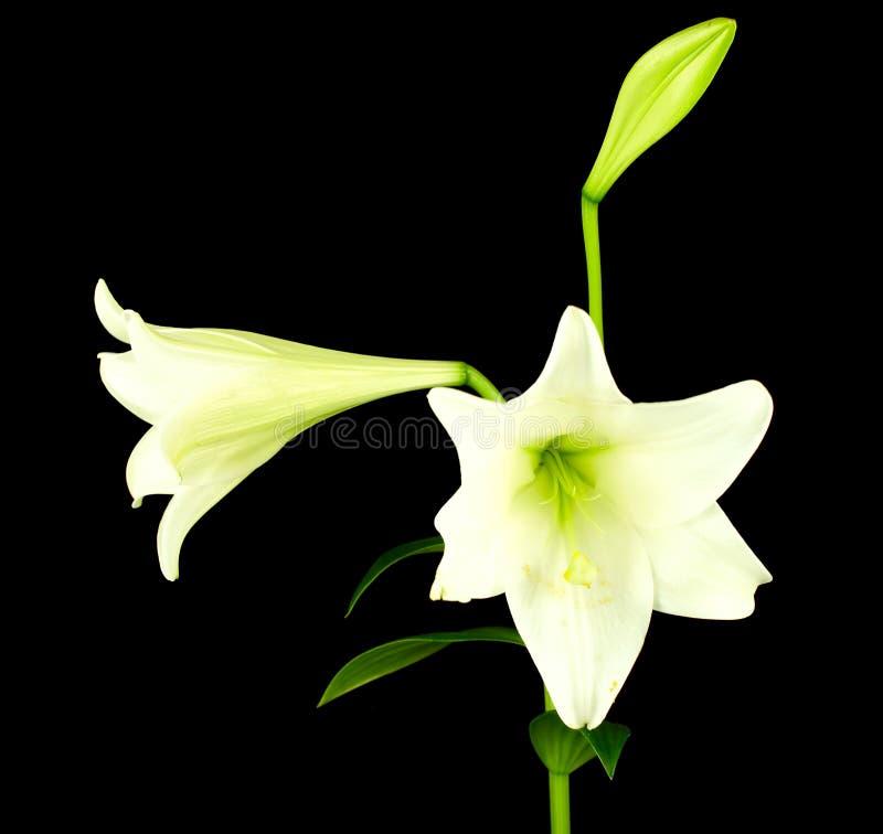Primer de la flor de Lilly fotos de archivo libres de regalías