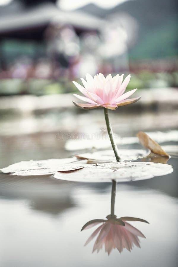 Primer de la flor de loto rosada en un lago en China, reflexión en el agua imagenes de archivo