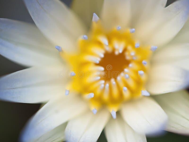 Primer de la flor de Lotus fotografía de archivo libre de regalías