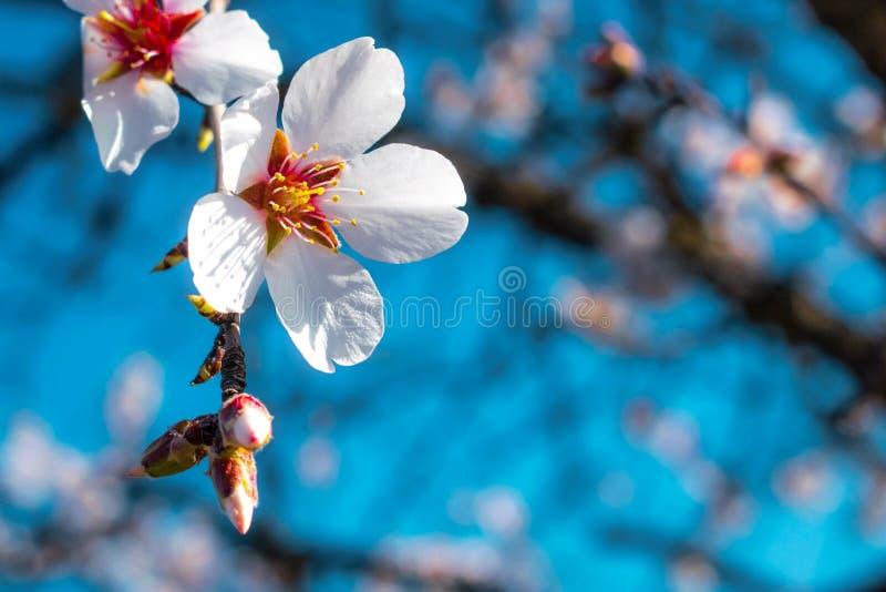 Primer de la flor del árbol de almendra Flor floreciente de la primavera Flores de los dulcis del Prunus imágenes de archivo libres de regalías