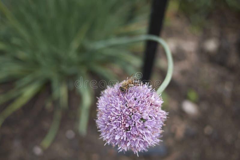 Primer de la flor del allium foto de archivo