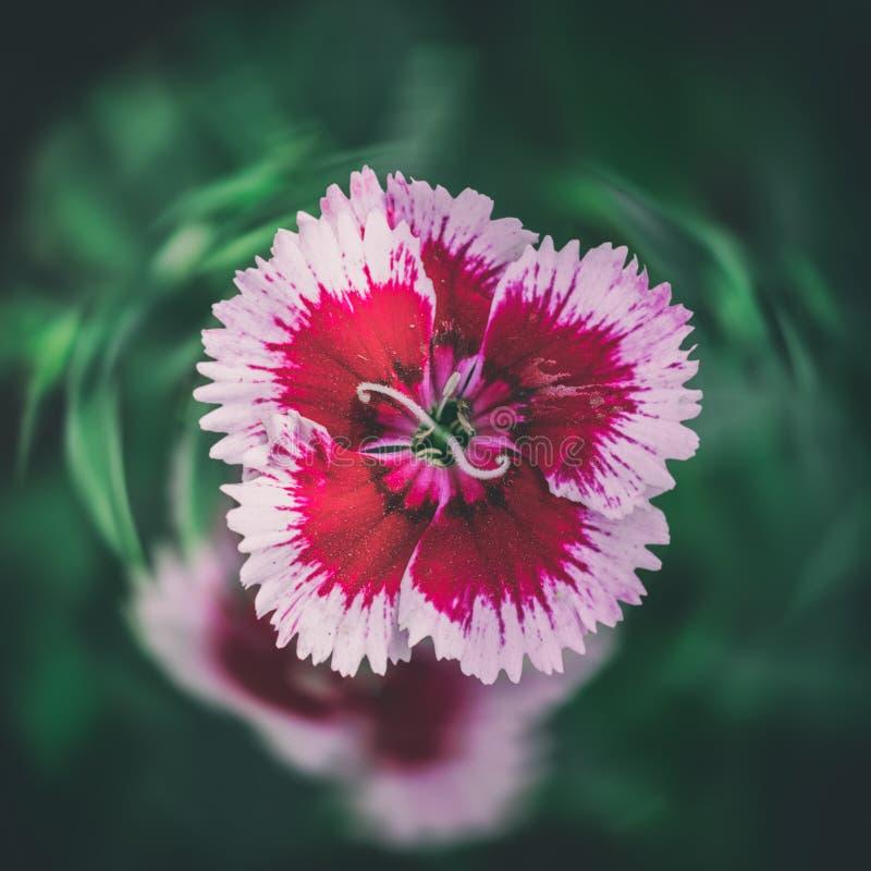 Primer de la flor del clavel del clavel fotografía de archivo