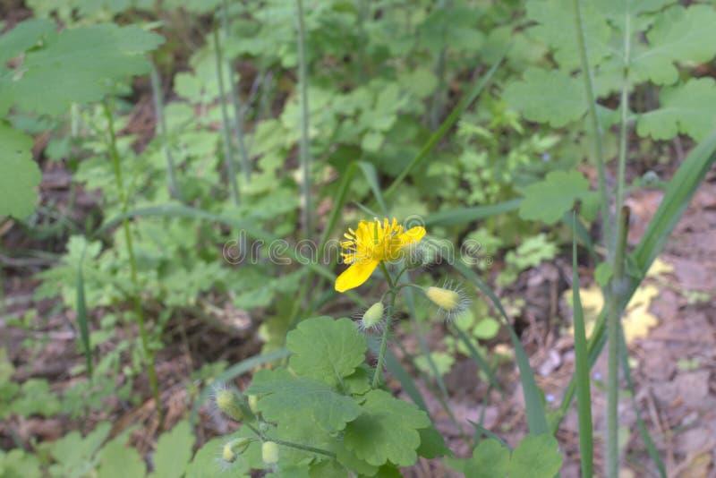 Primer de la flor del majus del Chelidonium del mayor celandine y s melenudo fotos de archivo libres de regalías