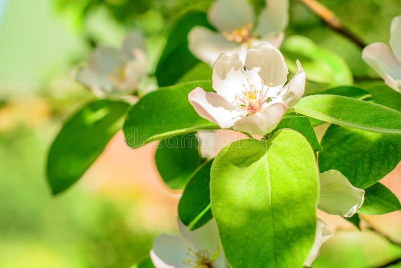 Primer de la flor del membrillo fotos de archivo
