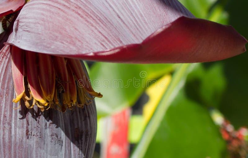 Primer de la flor del plátano fotografía de archivo libre de regalías