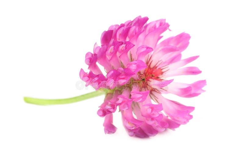 Primer de la flor del trébol rojo foto de archivo
