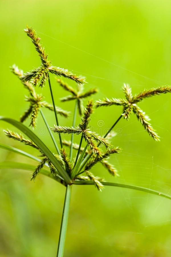 Primer de la flor de la hierba de Beauityful imagen de archivo