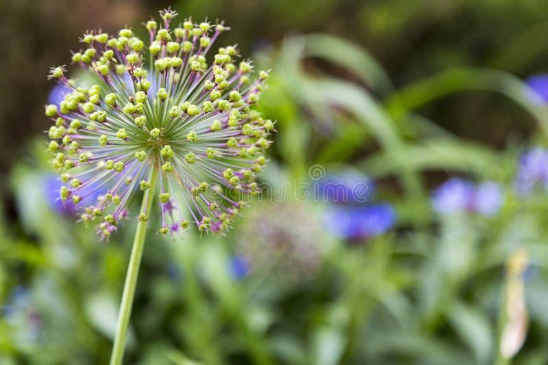 Primer de la flor púrpura del allium apenas que comienza a florecer imagen de archivo libre de regalías