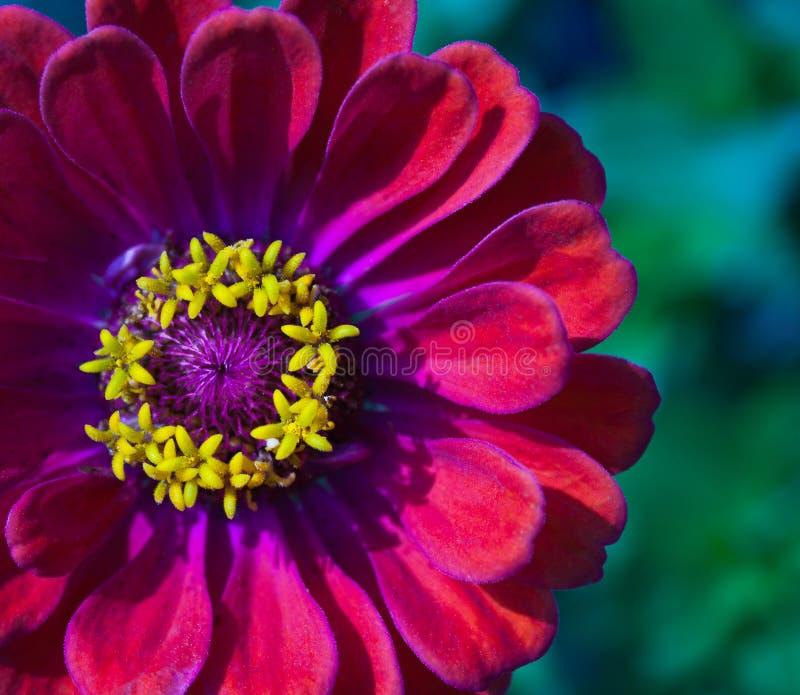 Primer de la flor roja del Zinnia en la plena floración imagenes de archivo