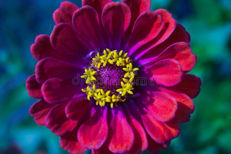 Primer de la flor roja del Zinnia en la plena floración centrada imagen de archivo