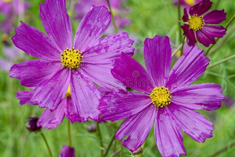 Primer de la flor rosada del cosmos con el fondo de la falta de definición fotos de archivo libres de regalías