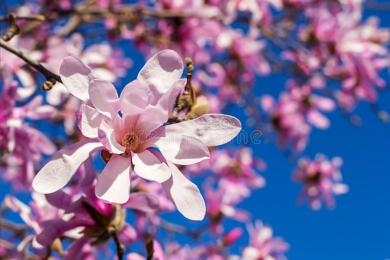 Primer de la flor rosada hermosa de la magnolia en un fondo del ?rbol floreciente y del cielo azul brillante Floraci?n del ?rbol  fotografía de archivo