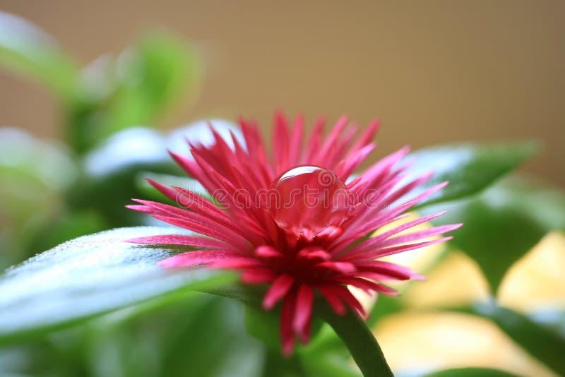 Primer de la flor rosada vibrante de Sun Rose del bebé con la gotita de agua cristalina en el polen, foco selectivo fotografía de archivo libre de regalías