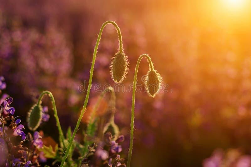 Primer de la floración blanda encendido por la amapola salvaje roja del sol uno del verano y los brotes de flor no diluidos en al imagen de archivo