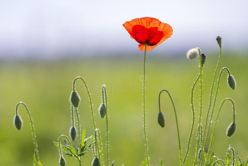 Primer de la floración blanda encendido por la amapola salvaje roja del sol uno del verano y los brotes de flor no diluidos en al fotos de archivo
