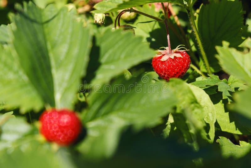 Primer de la fresa madura en el jard?n E Fondo hermoso de la naturaleza Fresas maduras en un arbusto t imagenes de archivo