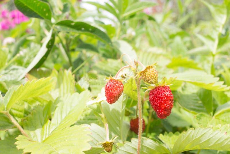 Primer de la fresa salvaje madura imagenes de archivo