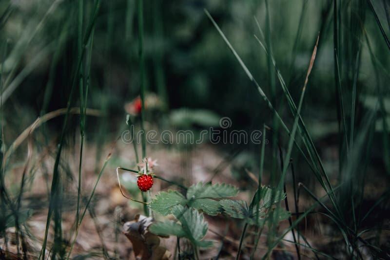 Primer de la fresa salvaje madura que cuelga en tronco en un lanzamiento al aire libre del prado fotos de archivo libres de regalías