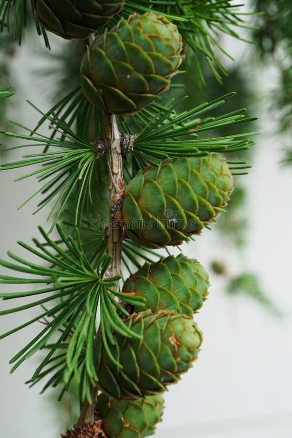 Primer de la fruta joven del cono en una rama del alerce larix decidua imagen de archivo libre de regalías