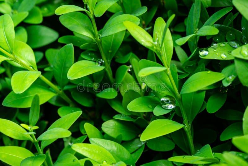 Primer de la gota de agua grande salpicado en el follaje verde joven brillante de los sempervirens del Buxus del boj como el cont fotos de archivo