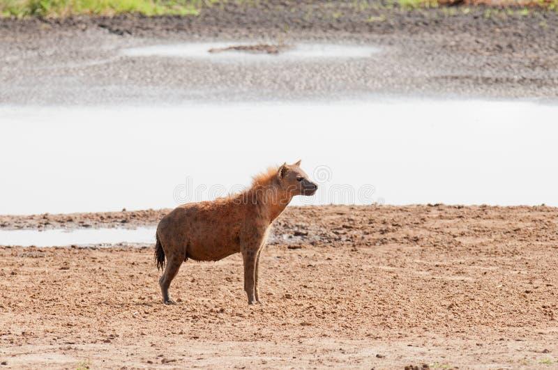 Primer de la hiena Spotted por el waterhole imagenes de archivo