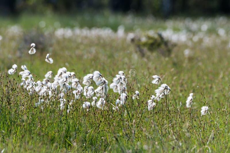 Primer de la hierba de algodón común imagen de archivo