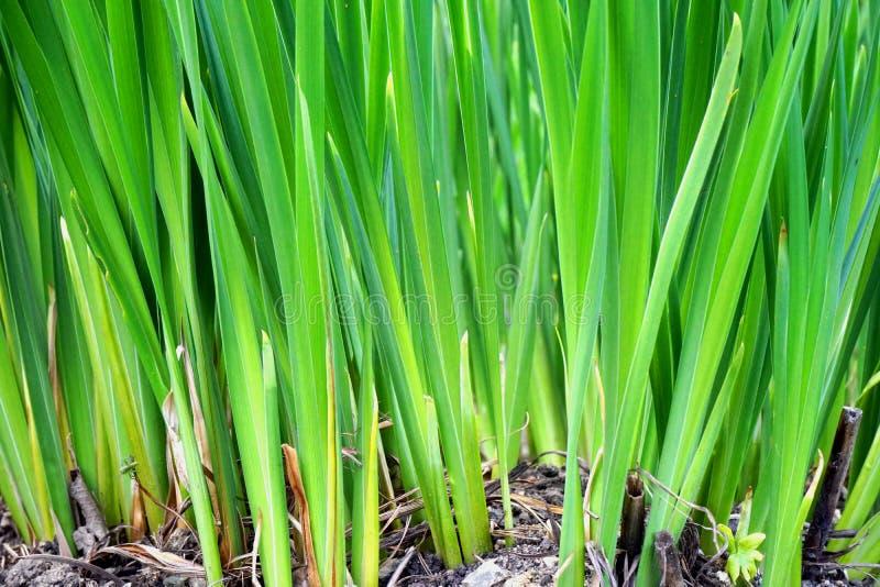 Primer de la hierba verde larga imagen de archivo libre de regalías