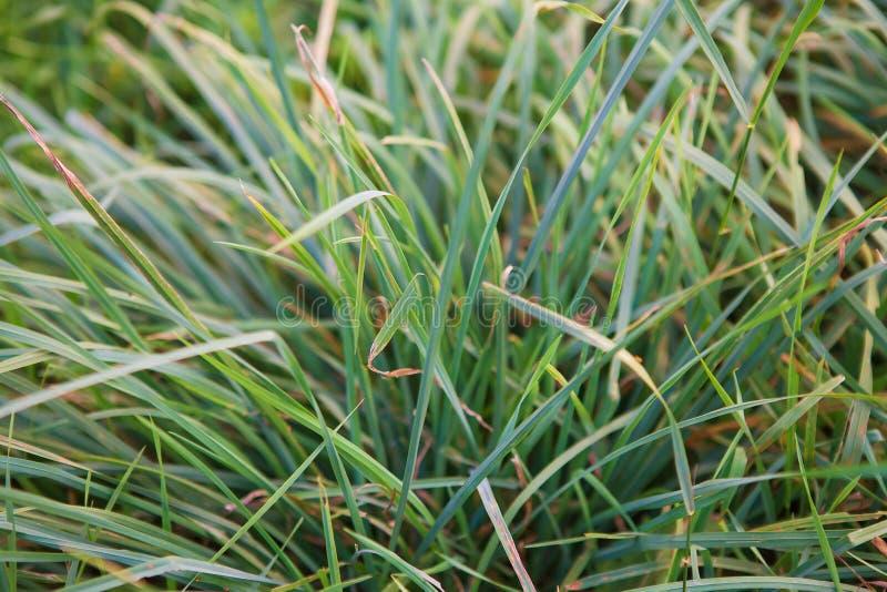 Primer de la hierba verde temprano por la mañana, conveniente para el fondo imágenes de archivo libres de regalías