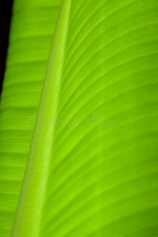 Primer de la hoja del plátano fotos de archivo