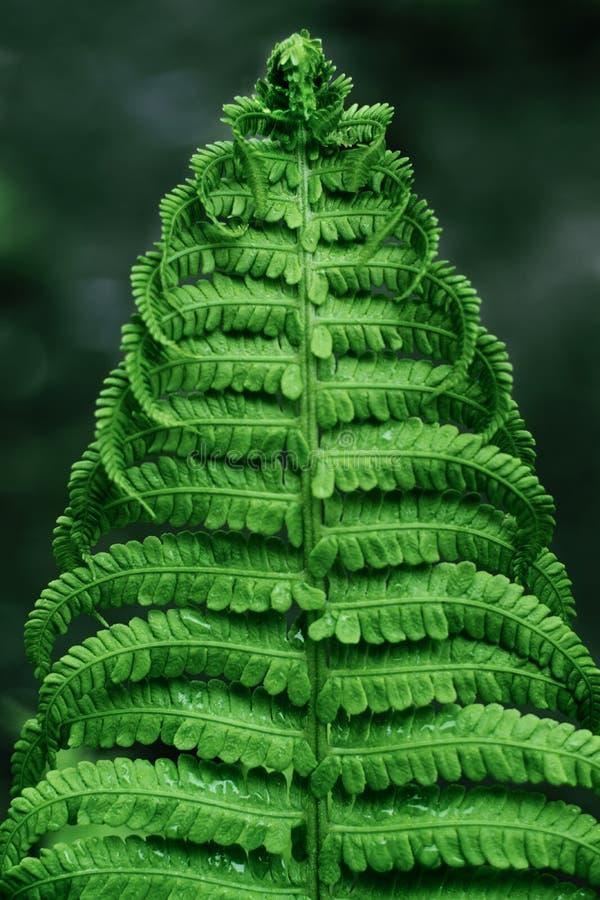 Primer de la hoja verde del helecho imagen de archivo