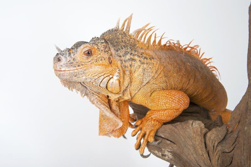 Primer de la iguana común (el rojo morph) foto de archivo libre de regalías