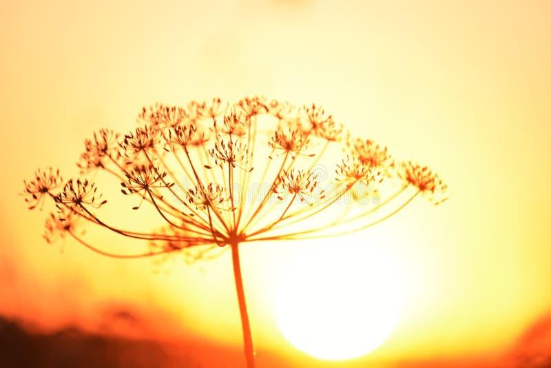 Primer de la inflorescencia del eneldo contra el sol poniente foto de archivo