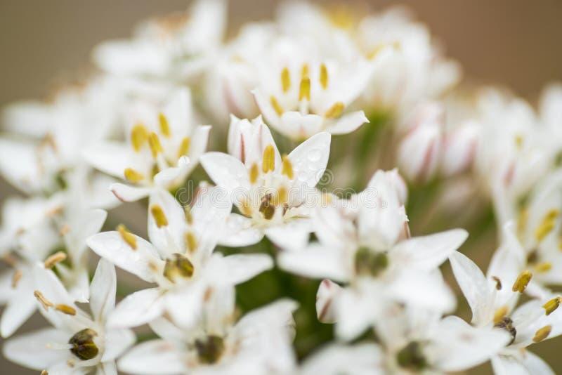 Primer de la inflorescencia de las cebolletas de ajo fotografía de archivo libre de regalías
