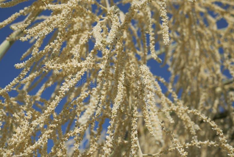 Primer de la inflorescencia de la palma fotografía de archivo