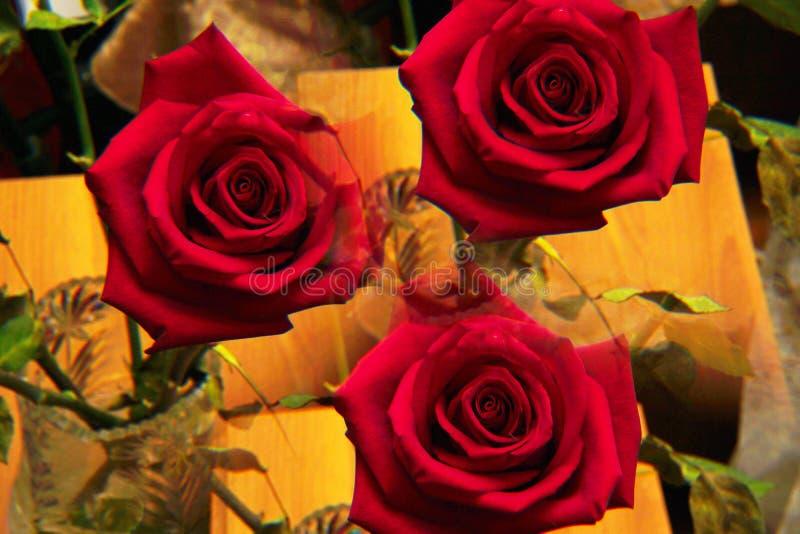 Primer de la inflorescencia roja de la rosa fotos de archivo