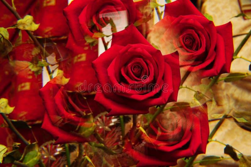 Primer de la inflorescencia de la rosa roja fotos de archivo