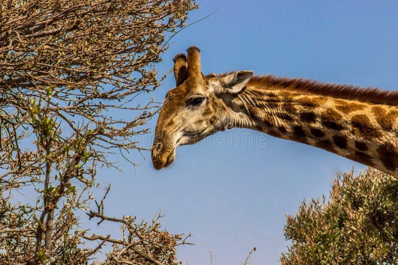 Primer de la jirafa foto de archivo