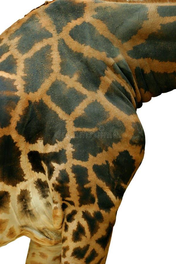Primer de la jirafa foto de archivo libre de regalías