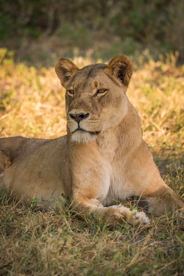 Primer de la leona en la cabeza de torneado de la hierba imagen de archivo libre de regalías