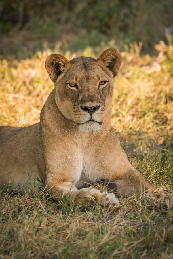 Primer de la leona que miente en el claro herboso foto de archivo libre de regalías