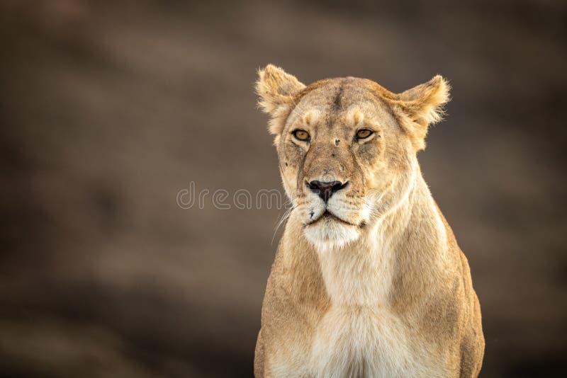 Primer de la leona que se sienta con la cara marcada con una cicatriz imagenes de archivo