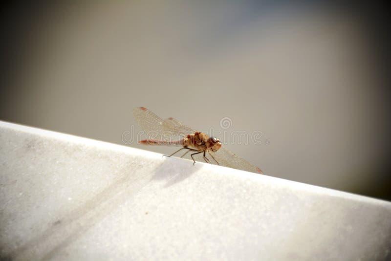 Primer de la libélula en el mármol blanco imagen de archivo libre de regalías
