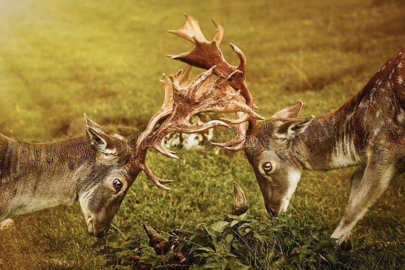 Primer de la lucha de los ciervos imagen de archivo libre de regalías