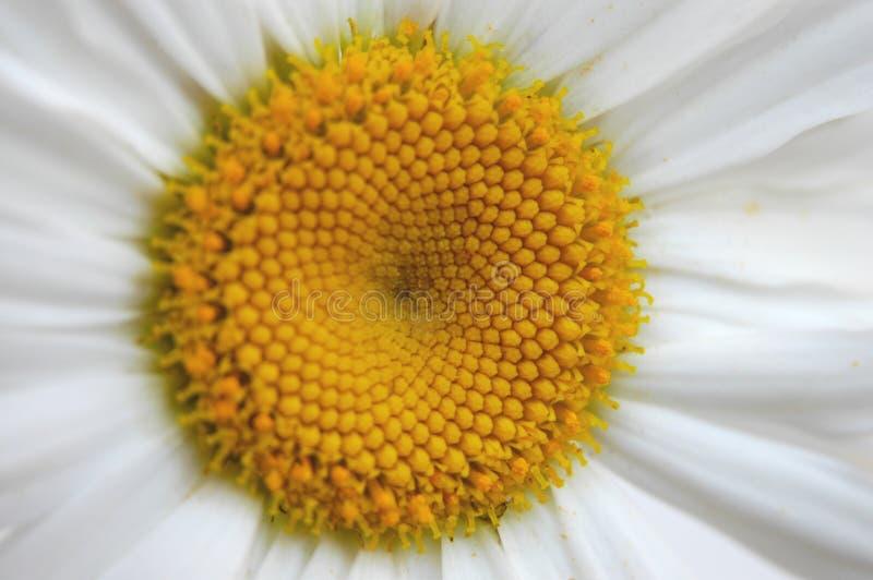 Download Primer de la margarita foto de archivo. Imagen de hermoso - 180112