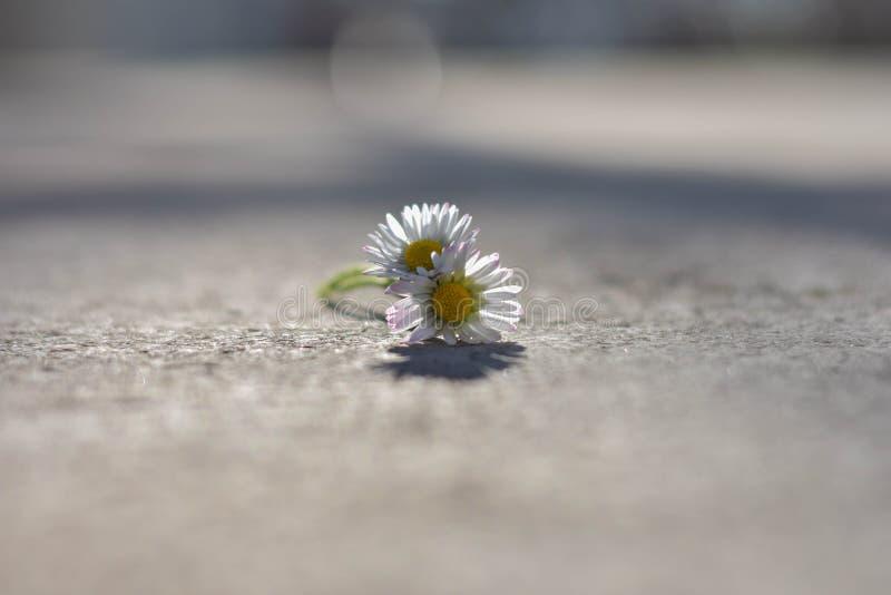 Primer de la margarita blanca aislada hermosa dos en la carretera de asfalto, imagen de archivo libre de regalías