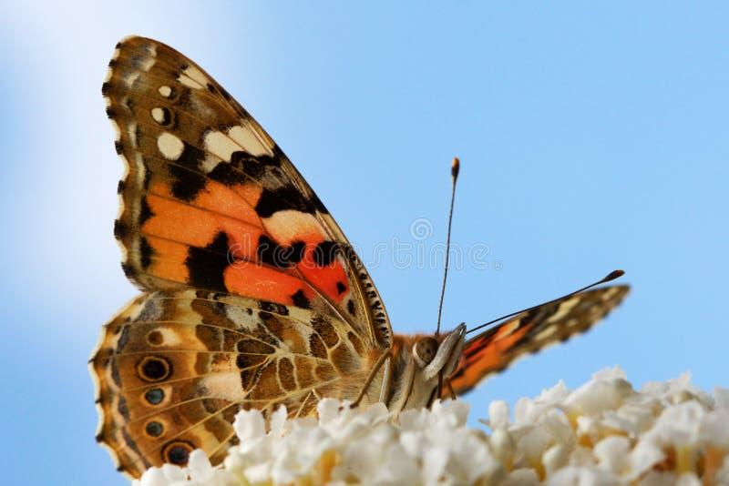 Primer de la mariposa imagenes de archivo